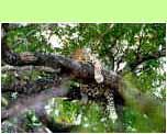 Kruger Luipaard - �Hans Hendriksen